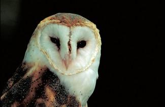 barn-owl-541159_1920